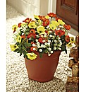 Everlasting Poppy Planter