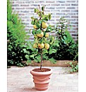 Dwarf Pear Tree - Doyenne