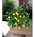 Lemon tree Standard
