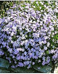 5 Phlox subulata Blue