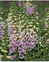 Digitalis purpurea Camelot Lavender