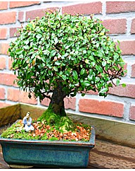 Bonsai Elm parfivola Broom Style 9 yr